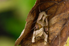 Perfect Camouflage. Moth in perfect camouflage near Frankfurt in Germany (August 2008 Stock Image