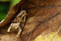 Perfect Camouflage. Moth in perfect camouflage near Frankfurt in Germany (August 2008 stock images