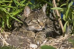 Cat well camouflaged in lurking position. Perfect camouflage dress of a tabby domestic cat between bushes Stock Images