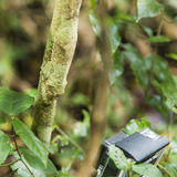 Perfect camouflage Uroplatus lizard being recorded Stock Photography