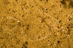 Perfect camouflaged flounder fish Royalty Free Stock Photo