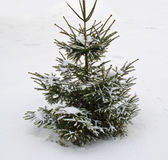 Perfect Christmas tree in fresh snow Royalty Free Stock Photography