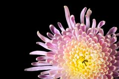 Perfect Chrysanthemum Stock Image