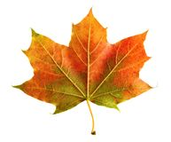 Perfect colorful autumn leaf royalty free stock image