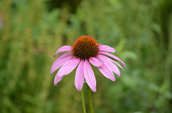 Perfect Coneflower Blossom in Full Bloom Royalty Free Stock Images