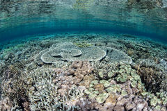 Perfect Coral Reef in Shallows Stock Photography