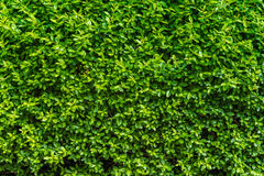 Perfect countless small green leafs background vegetation wall Royalty Free Stock Photo