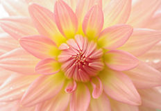 Perfect dahlia flower Royalty Free Stock Photos