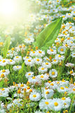 Perfect daisies and sun Stock Images