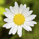 Perfect daisy Stock Image