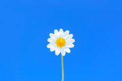 Perfect daisy flower against uniform blue sky, copyspace available Stock Photo