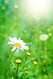 Perfect daisy and sun Royalty Free Stock Images