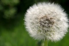 Perfect dandelion Stock Photography