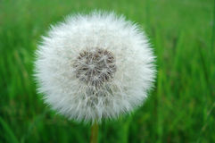 Perfect dandelion blowball Royalty Free Stock Photo