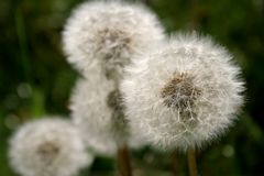 Perfect dandelions Stock Photography