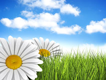 A perfect day. Daisies in the meadow Royalty Free Stock Photo