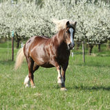 Perfect draft horse running in front of flowering trees. Perfect draft horse running in front of flowering plum trees in spring stock images