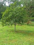 Perfect drzewo obraz royalty free