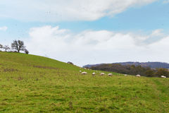 Perfect English sunny autumn landscape with sheep and birds around Royalty Free Stock Photo