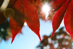 Perfect fall day. Red maple leaves on a sunny day in fall Royalty Free Stock Photos