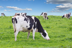 Perfect farm cows on a green meadow Royalty Free Stock Image