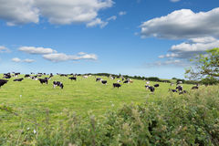 Perfect farm cows on a green meadow Royalty Free Stock Photography