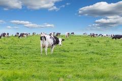Perfect farm cows on a green meadow Stock Photos
