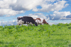 Perfect farm cows on a green meadow Royalty Free Stock Photos