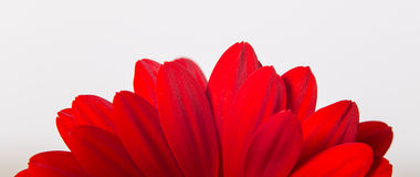 Perfect Flower. Flower on white background for Footer Royalty Free Stock Images