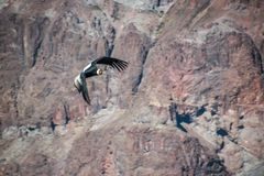 The perfect flutter of the king of Cordillera de los Andes. This is a chilean condor fluttering, they are known because of flying only using wind currents so Stock Photography