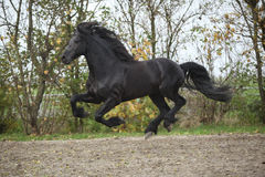Perfect friesian stallion flying Stock Photo