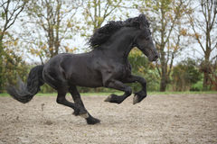 Perfect friesian stallion running on sand in autumn Royalty Free Stock Photo