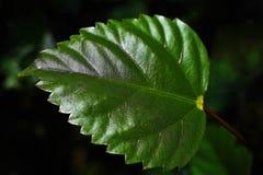 Perfect gevormd Hibiscusblad met donkere achtergrond Royalty-vrije Stock Foto's