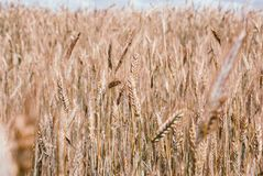 Perfect golden wheat field and sunny day.  stock photo