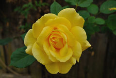 Almost Perfect. A gorgeous rich colored yellow rose with almost perfect green leaves against a blurred backdrop of a weathered wooden fence Royalty Free Stock Photos