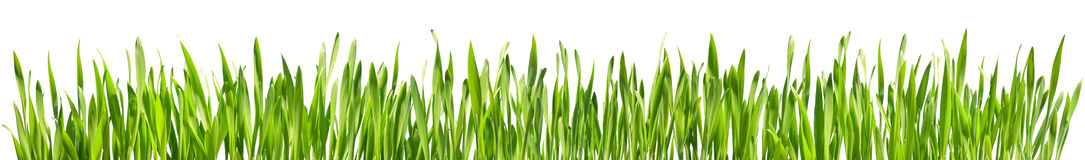 Perfect Grass Isolated stock photo