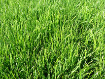 Perfect green grass. Closeup of green grass lawn background Royalty Free Stock Photography