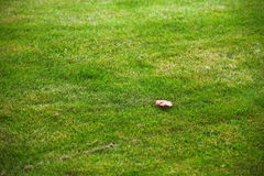 Perfect Green lawn. Fresh grass texture background Stock Images