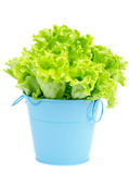 Lettuce in Blue Pot Stock Photo