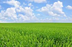 Perfect green wheat Stock Photo