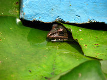 Perfect Hiding. A frog peeks out from its hiding place Royalty Free Stock Photo