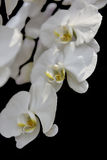 A perfect image of white orchids & x28;Phalaenopsis& x29;. In a black background stock images
