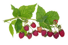 Perfect isolated raspberry Royalty Free Stock Photo