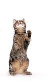 Perfect Kitten Looking Upwards Royalty Free Stock Photo