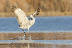 Perfect landing of sandhill crane Royalty Free Stock Photo