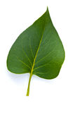 Perfect Leaf Royalty Free Stock Photography
