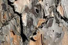 Detail of secular tree bark. royalty free stock image
