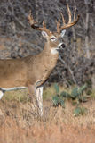 Perfect lighting on whitetail buck in vertical photograph. Whitetail buck with numerous kicker points on antlers Royalty Free Stock Photo