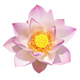 Perfect lotus Stock Image