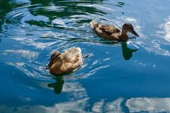 Wild duck floats on water. Perfect lovely bird. The world of animals around Royalty Free Stock Image